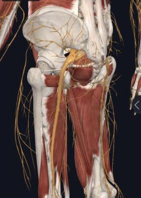 Anatomia do nervo isquiático na coluna; sintomas de compressão.