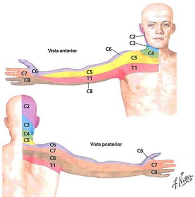Imagem anatômica das raízes nervosas cervicais.