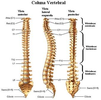 Distribuição das diferentes regiões da coluna vertebral